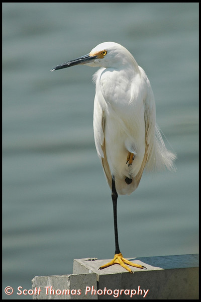 Snowy Egret in the Edwin B. Forsythe National Wildlife Refuge near Atlantic City, New Jersey.