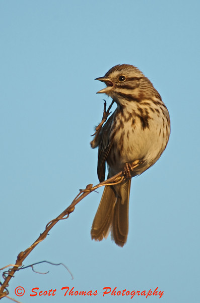 Song Sparrow scratching an itch on his pussy willow perch in the Montezuma National Wildlife Refuge.
